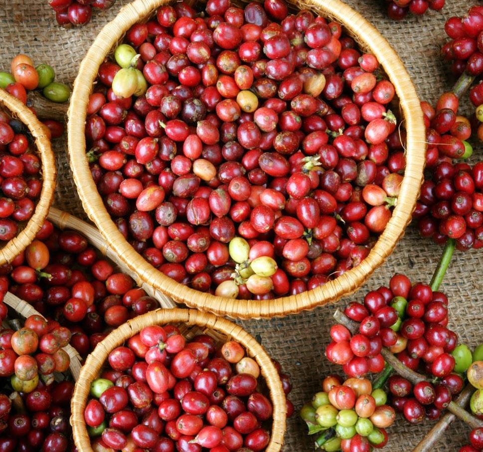 frutti di caffè