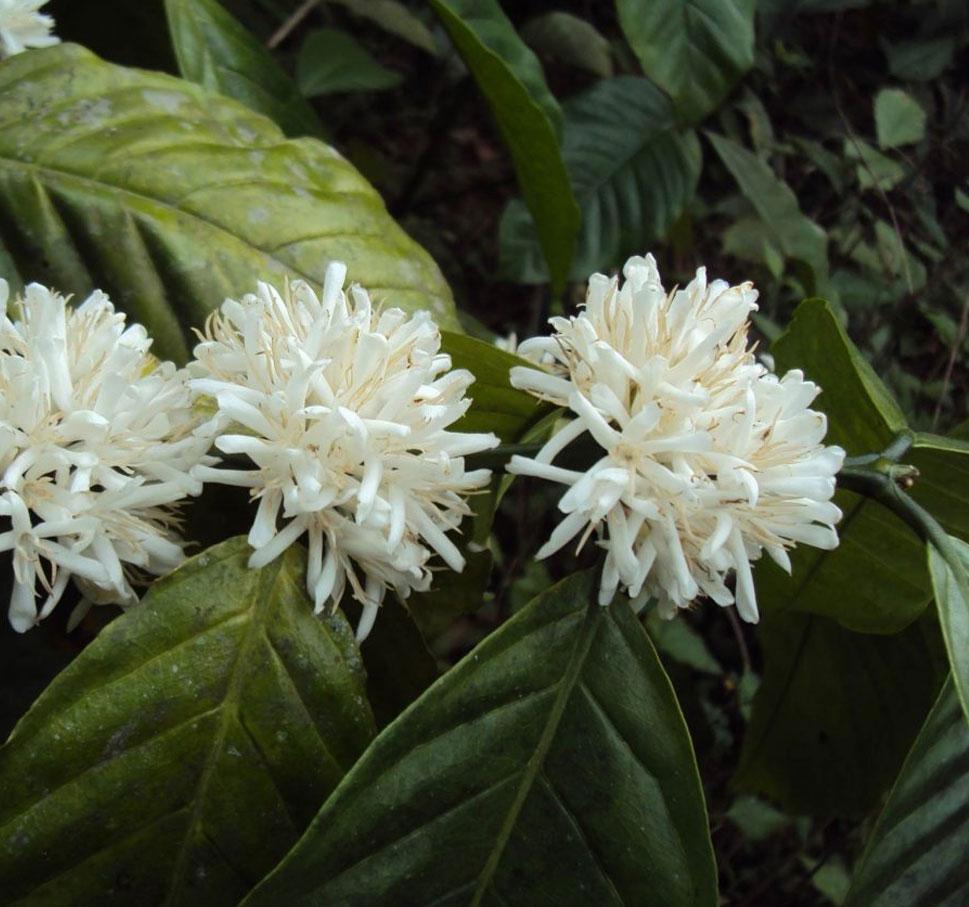 pianta arabica